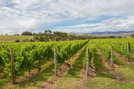 Colourful vineyard Landscape in the area between Richmond, Cambridge and Hobart in Tasmania, Australia.