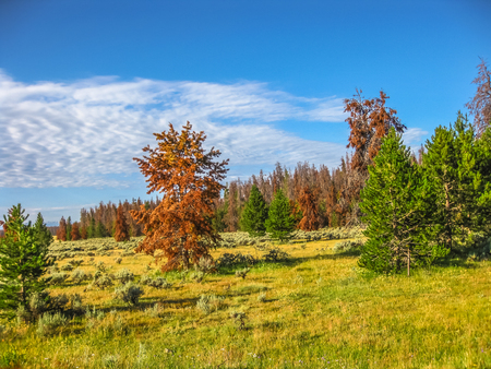 rocky mountain: The green pine trees of Colorado in the United States are becoming red. Pine beetles are changing the landscape of Rocky Mountain National Park are killing the trees. Stock Photo