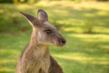 Closeup of red australian kangaroo, Macropus rufus, in famous Pebbly Beach in the Murramarang National Park, south coast region, New South Wales, Australia.