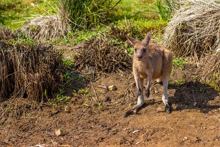 south coast: Red australian kangaroo, Macropus rufus, in famous Pebbly Beach in the Murramarang National Park, south coast region, New South Wales, Australia. Stock Photo