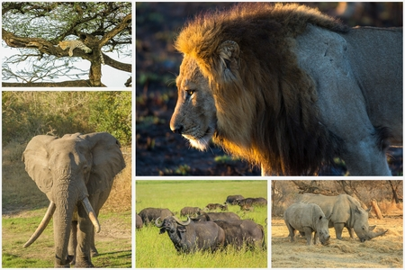reserves: African Big Five animals collage, Buffalo, Elephant, Leopard, White Rhino and Lion in national parks and african reserves like Kruger, Etosha and the Serengeti.