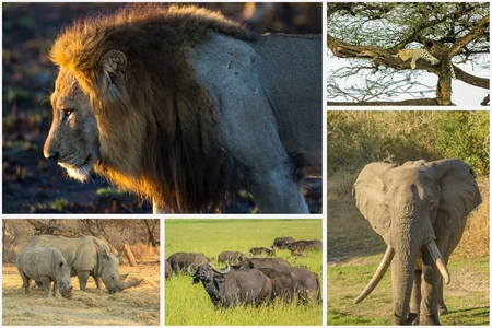 power nap: African Big Five animals collage, Buffalo, Elephant, Leopard, White Rhino and Lion in national parks and african reserves like Kruger, Etosha and the Serengeti.