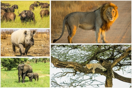 reserves: African Big Five animals collage, Buffalo, Elephant, Leopard, Black Rhino and Lion in national parks and african reserves like Kruger, Etosha and the Serengeti. Stock Photo