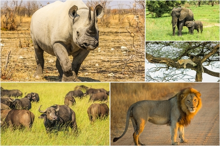 African Big Five animals collage, Buffalo, Elephant, Leopard, Black Rhino and Lion in national parks and african reserves like Kruger, Etosha and the Serengeti. Stock Photo
