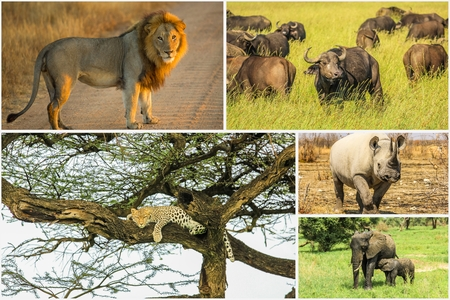 sleeping animals: African Big Five animals collage, Buffalo, Elephant, Leopard, Black Rhino and Lion in national parks and african reserves like Kruger, Etosha and the Serengeti. Stock Photo