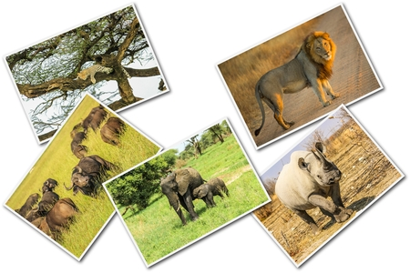 big five: African Big Five animals collage, Buffalo, Elephant, Leopard, Black Rhino and Lion in national parks and african reserves like Kruger, Etosha and the Serengeti on white  background. Stock Photo