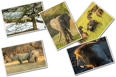 reserves: African Big Five animals collage, Buffalo, Elephant, Leopard, Black Rhino and Lion in national parks and african reserves like Kruger, Etosha and the Serengeti on white  background. Stock Photo