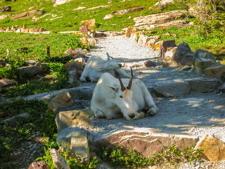 mountain goats: Two mountain goats resting along the way to the Hidden Lake Overlook. Glacier National Park, Montana, United States. Stock Photo