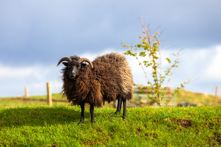 oveja negra: Highlander black sheep standing in a Scottish countryside. Elgol in Skye Island, Scotland, Europe. Foto de archivo