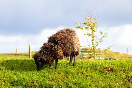 highlander: Highlander carnero negro comiendo hierba en un campo escoc�s. Elgol en la isla de Skye, Escocia, Europa.