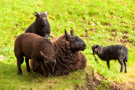 highlander: Highlander familia ovejas negras, madre con tres corderos, sentado en la hierba en un campo escoc�s. Elgol en la isla de Skye, Escocia, Europa.
