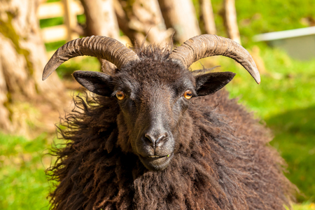 highlander: Highlander black male sheep portrait in a Scottish countryside. Elgol in Skye Island, Scotland, Europe.