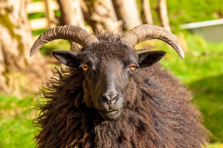 highlander: Highlander negro retrato masculino ovejas en un campo escoc�s. Elgol en la isla de Skye, Escocia, Europa.