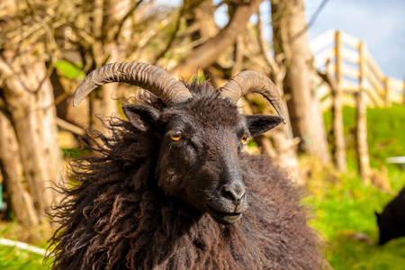 oveja negra: Highlander black male ram portrait in a Scottish countryside. Elgol in Skye Island, Scotland, Europe.