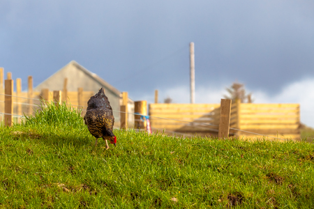 highlander: Highlander black Hen eating grass in a Scottish countryside. Elgol in Skye Island, Scotland, Europe.