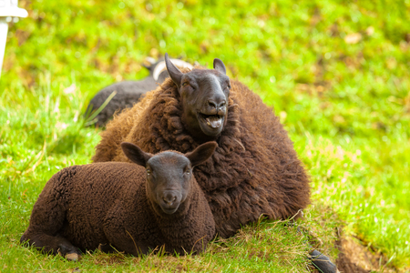 oveja negra: Highlander black sheep mother with lamb, sitting on the  grass in a Scottish countryside. Elgol in Skye Island, Scotland, Europe. Foto de archivo