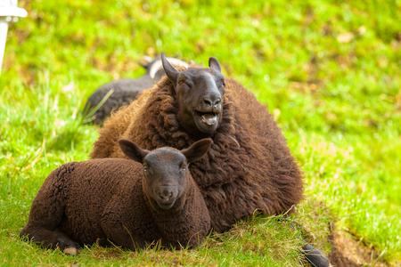highlander: Highlander madre ovejas negro con carne de cordero, sentado en la hierba en un campo escoc�s. Elgol en la isla de Skye, Escocia, Europa.