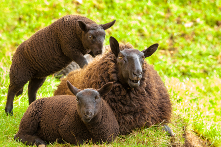 highlander: Highlander black sheeps family, mother with two lambs, resting on the  grass in a Scottish countryside. Elgol in Skye Island, Scotland, Europe. Foto de archivo