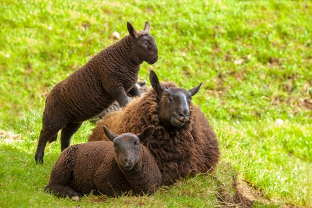 scottish female: Highlander black sheeps family, mother with two lambs, resting on the  grass in a Scottish countryside. Elgol in Skye Island, Scotland, Europe. Stock Photo