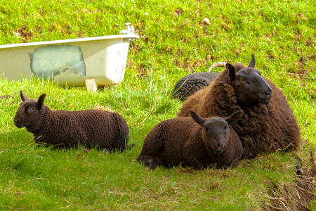 highlander: Highlander familia ovejas negras, madre con dos corderos, que descansa sobre la hierba en un campo escoc�s. Elgol en la isla de Skye, Escocia, Europa.