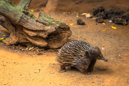 echidna: Echidna, Tachyglossus species. It a mammal, the Order of Monotreme.  It is located across Australia and New Guinea.