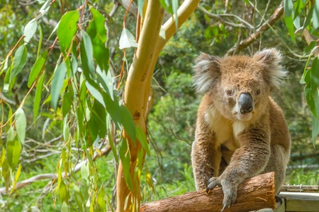 koala: Adult male koala, Phascolarctos cinereus, on branch of eucalyptus in Koala Conservation Centre, Cowes town, Phillip Island, Victoria, Australia. Stock Photo