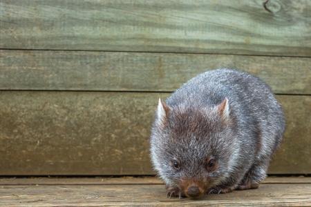 wombat: Poco wombat, ursinus Vombatus, 3 meses de edad, mientras que comer hojas de hierba en el interior Santuario de Vida Silvestre Bonorong, Hobart, Tasmania, Australia.