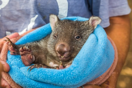 marsupial: Closeup of a park attendant in her arms and a baby wombat  in marsupial position, few weeks old, Vombatus ursinus. Trowunna Wildlife Park, Mole Creek, Tasmania, Australia.