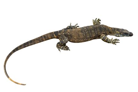 saurian: Brown and yellow Komodo dragon from the top, from Australia, isolated on white background Stock Photo