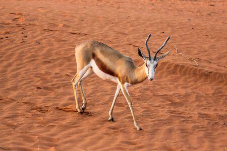 springbok: Springbok on the red dunes of the Kalahari desert, Namibia, Africa.