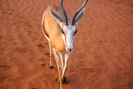 kalahari desert: Springbok on the red dunes of the Kalahari desert, Namibia, Africa.