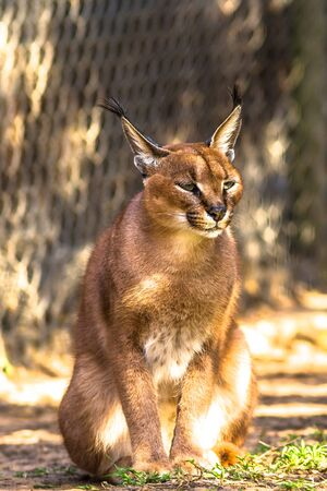 crouch: Caracal standing in the grass, South Africa.