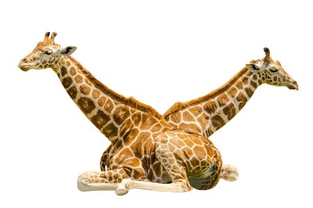 Twin Sitting Giraffes, isolated on white background.