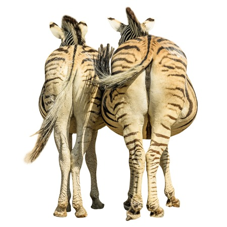 ass standing: Two zebras standing, back side view, isolated on white background.