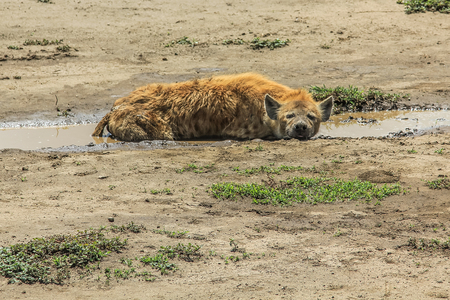 hienas: hyena lying on the ground in Ndutu. Ndutu area is situated in the South-eastern part of the Serengeti ecosystem, Tanzania, Africa. Foto de archivo