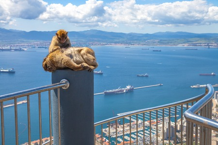 apes: Relaxed apes sitting on a top of Gibraltar Rock, the famous wild macaques of Upper Rock Natural Reserve. Gibraltar is a British colony that is located at southern end of Iberian Peninsula.