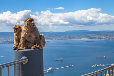 animal den: The famous wild macaques of Upper Rock Natural Reserve in Gibraltar Rock.