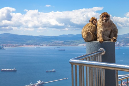 animal den: The famous wild macaques of Upper Rock Natural Reserve in Gibraltar Rock. Gibraltar is a British colony that is located at southern end of Iberian Peninsula.