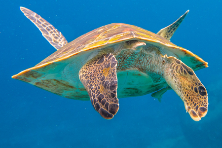 green turtle: Clse up of back green turtle, Chelonia mydas, in blue water. Similan Islands in Thailand, Andaman Sea.