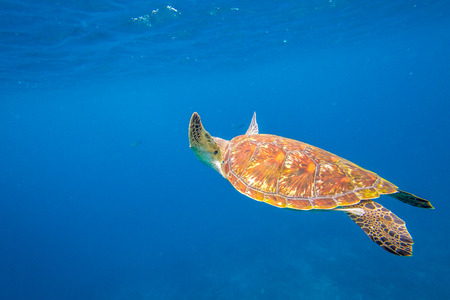 green turtle: Marine green turtle, Chelonia mydas, swimming in blue water with copy space.