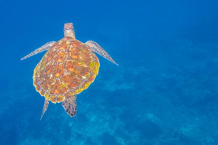 green turtle: Green turtle, Chelonia mydas, swimming in blue water at the Similan Islands in Thailand, Andaman Sea.