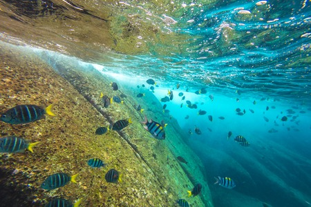 similan islands: School of fish on the seabed of Similan Islands in Thailand. Underwater marine life in Andaman Sea.