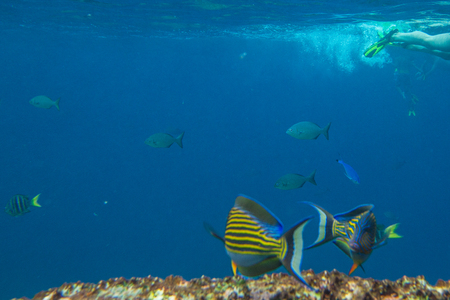 similan islands: Yellow fish on the seabed of Similan Islands in Thailand. Underwater marine life in Andaman Sea with copy space. Stock Photo