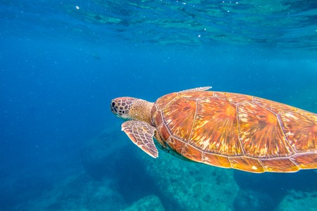 green turtle: Close up of green turtle, Chelonia mydas, swimming in blue water. Similan Islands, Thailand, Andaman Sea.