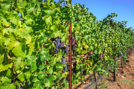 wine growing: Row of ripe red grapes in Napa Valley, San Francisco Bay Area in northern California. Napa Valley is the main wine growing region of the United States and one of the major wine regions of the world.