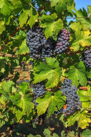 vinery: Close up of red grapes on the vine in Napa Valley, California. Napa Valley is the main wine growing region of the United States and one of the major wine regions of the world.