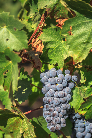 wine growing: Close up of red grapes on the vine in Napa Valley, California. Napa Valley is the main wine growing region of the United States and one of the major wine regions of the world.