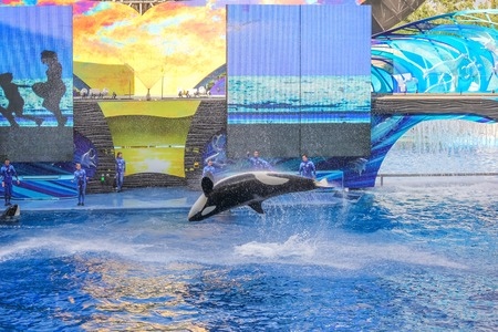 hosted: Orlando, Florida, United States - April 22, 2012: Tilikum, the killer whale, jumping in the shamu show at Seaworld. Tilikum is the largest and most famous orca hosted at Seaworld.