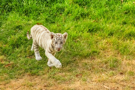 recessive: A small white tiger, Panthera tigris, walking in the green grass. The white tiger is present only in the Bengal tiger, the only one with the recessive gene.