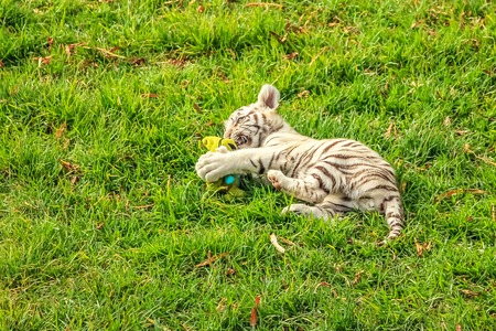 A small white tiger, Panthera tigris, plays in the green grass. The white tiger is present only in the Bengal tiger, the only one with the recessive gene. Stock Photo